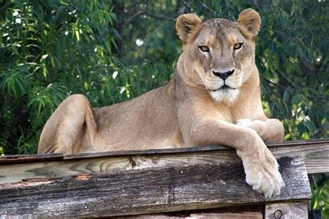 Lion dies from overheating at North Carolina sanctuary
