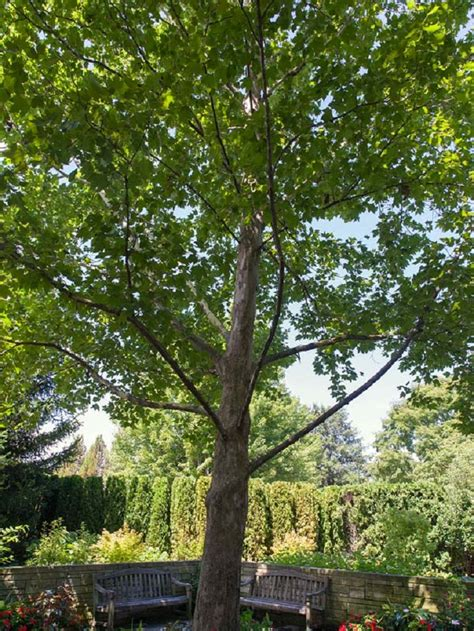 TOP 10 Fastest Growing Shade Trees - Page 2 of 10 - Top