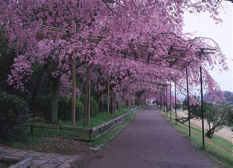 The Bloom of Cherry Blossoms 2019