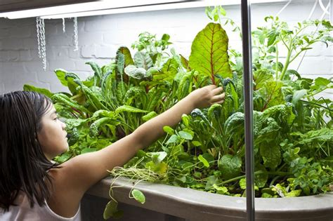 Basement Aquaponics, growing vegetables and tilapia in