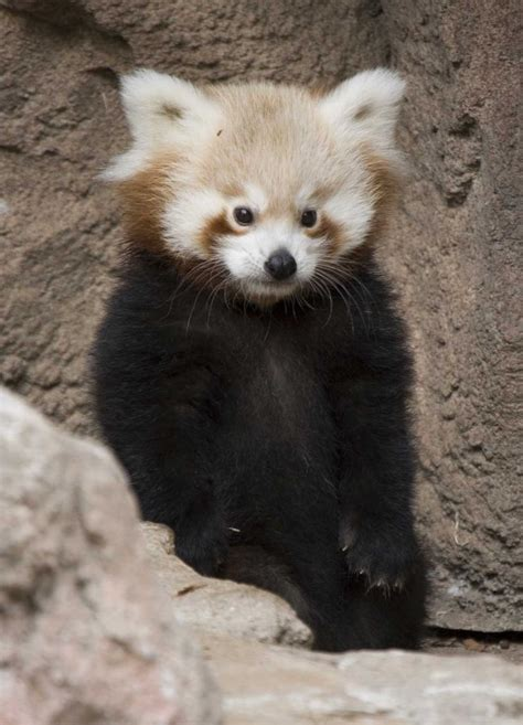 Red Panda Cubs Now on Display in Denver - ZooBorns